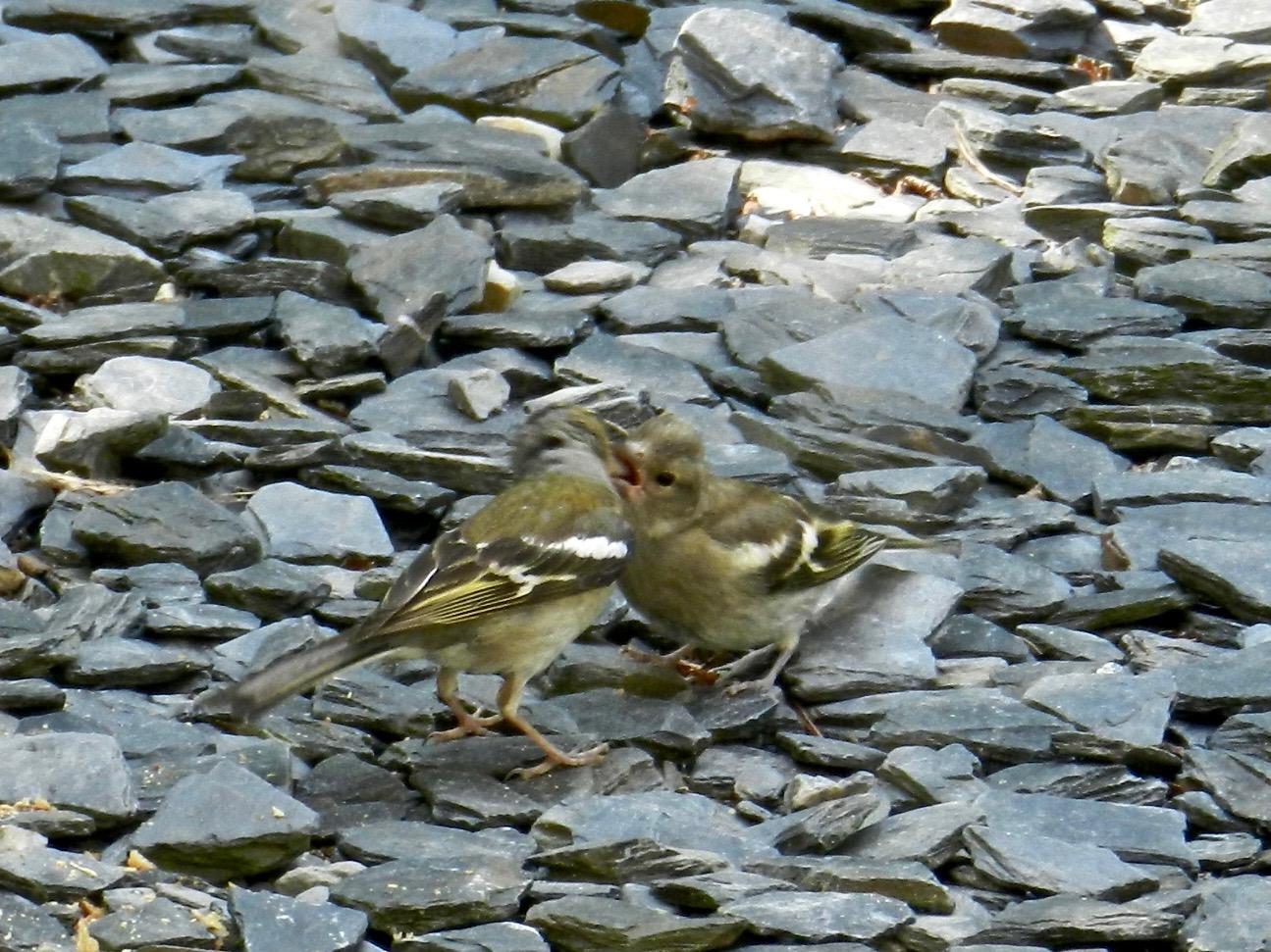 A peine tombées au sol, les graines sont picorées par les roitelets, les pinsons ou les rouge-gorges. Ce 'petit' roitelet se fait encore nourrir par sa mère.