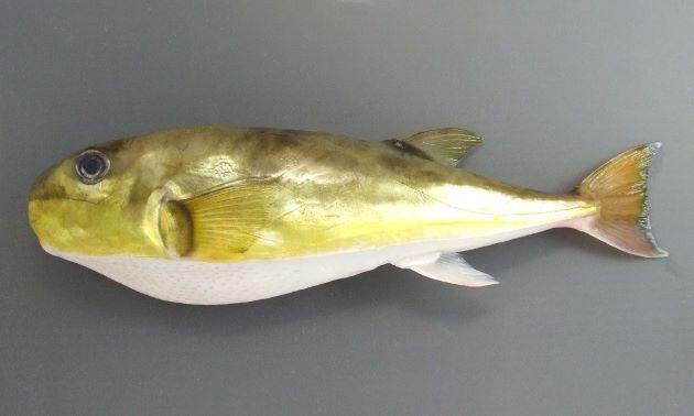 若狭の銀フグ。白サバフグともいい、小さいけれど唐揚げや、陶板焼きにぴったりです。