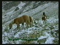 Haflinger als Alpenwildpferde