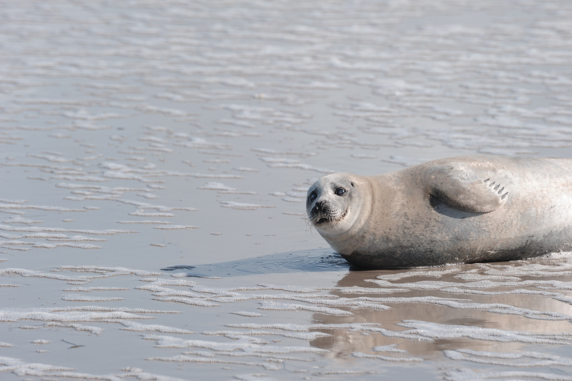 Eine Robbe zu Gast am Strand