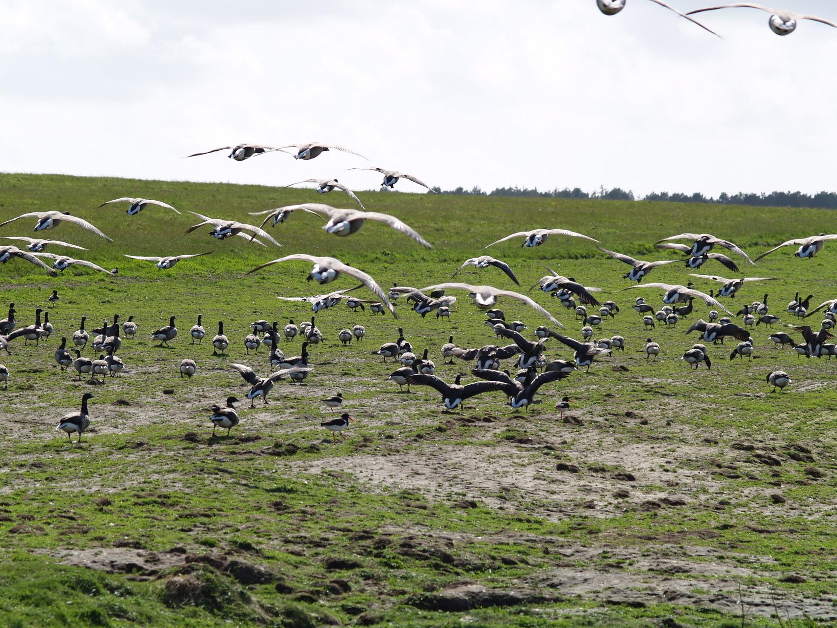 Vögel auf den Wattwiesen