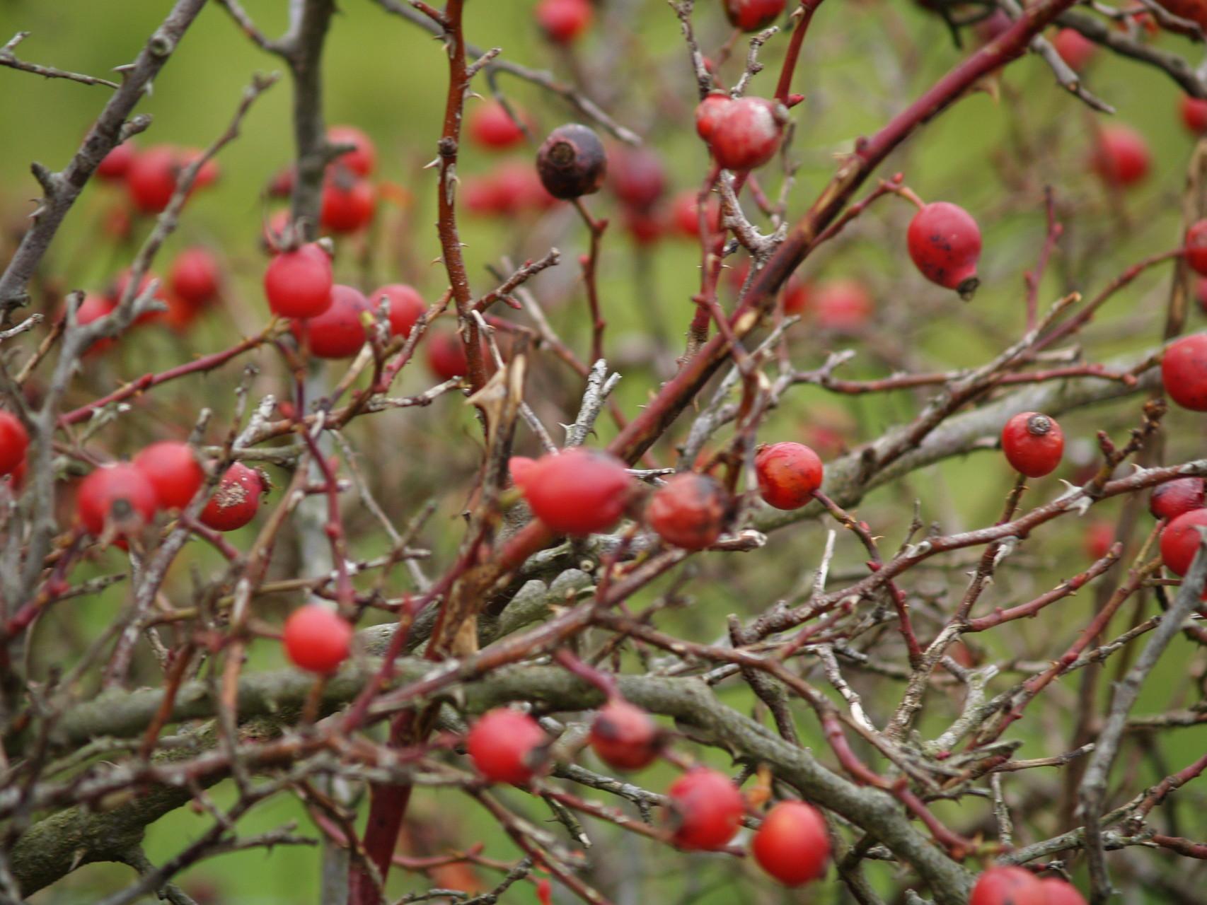 Herbsthagebutten