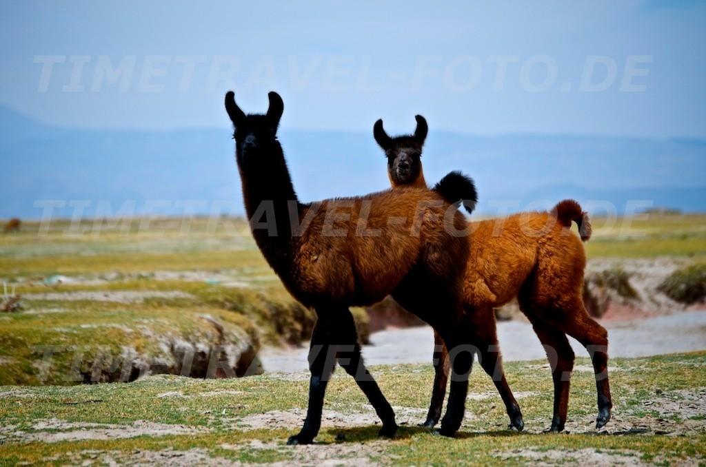 Lamas. Foto: Esther Knipschild