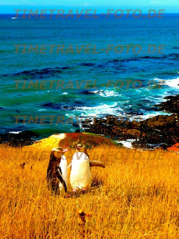 Gelbaugen-Pinguine, Moeraki, Neuseeland. Foto: Esther Knipschild