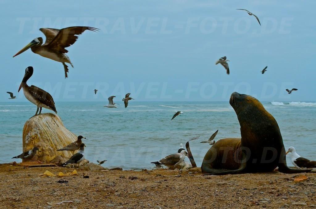 Seelöwe und Pelikane. Foto: Esther Knipschild