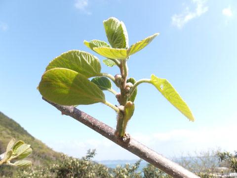 キウイの新芽