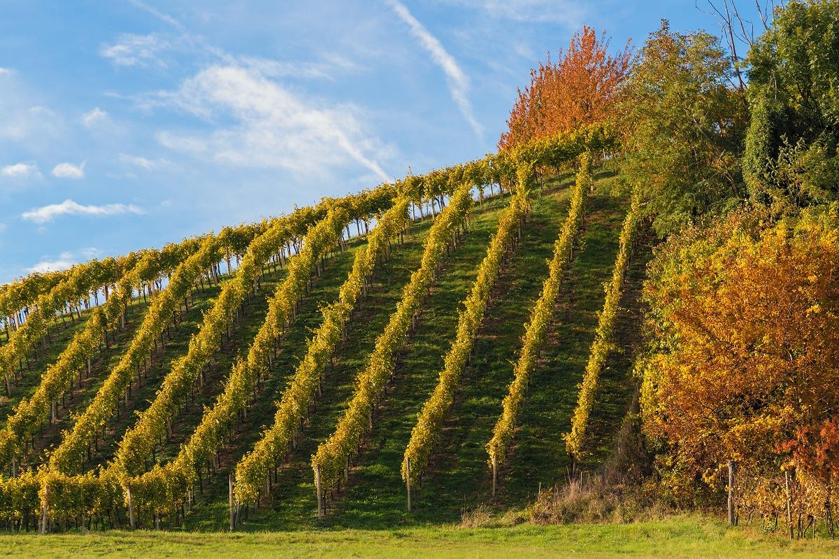 PATZENBERG Seehöhe: 360m  - kalkhaltiger pseudovergleyter Rigolboden aus Tertiärsedimenten  - Tiefgründige, schwere Kalkmergelböden führen im Wein zu einer warmen Aromatik.  - Ees entwickeln sich eher konzentriertere, stoffigere Strukturen. Vor allem der