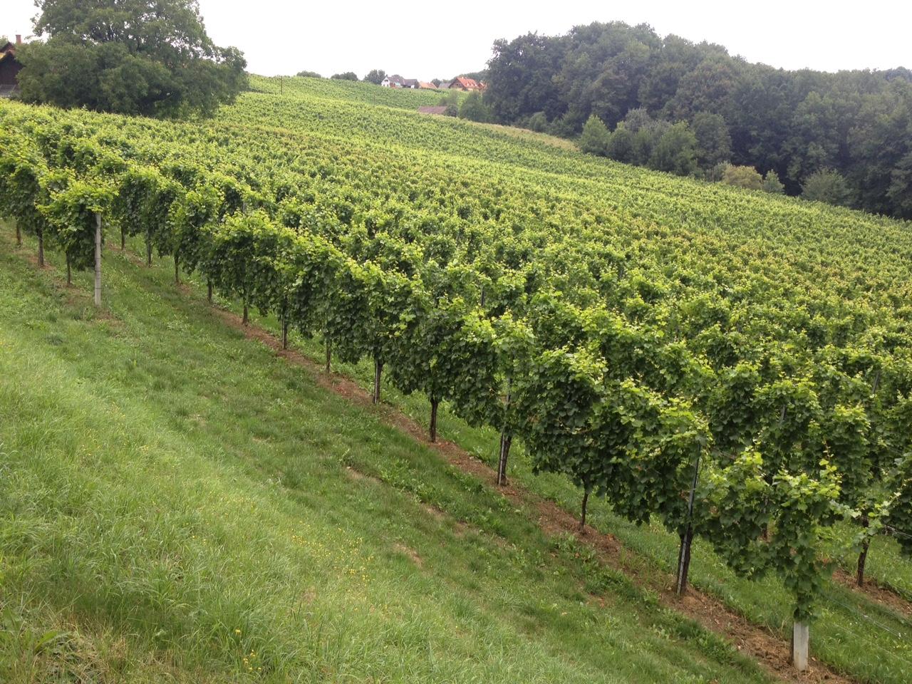 AUNBERG  Seehöe: 320m  - Südost- und Südwesthänge  - Mittelschwerer kalkhältiger Boden aus feinen Tertiärsedimenten  - lehmige, tiefgründige Böden ergeben ausgeprägte und typische Weine