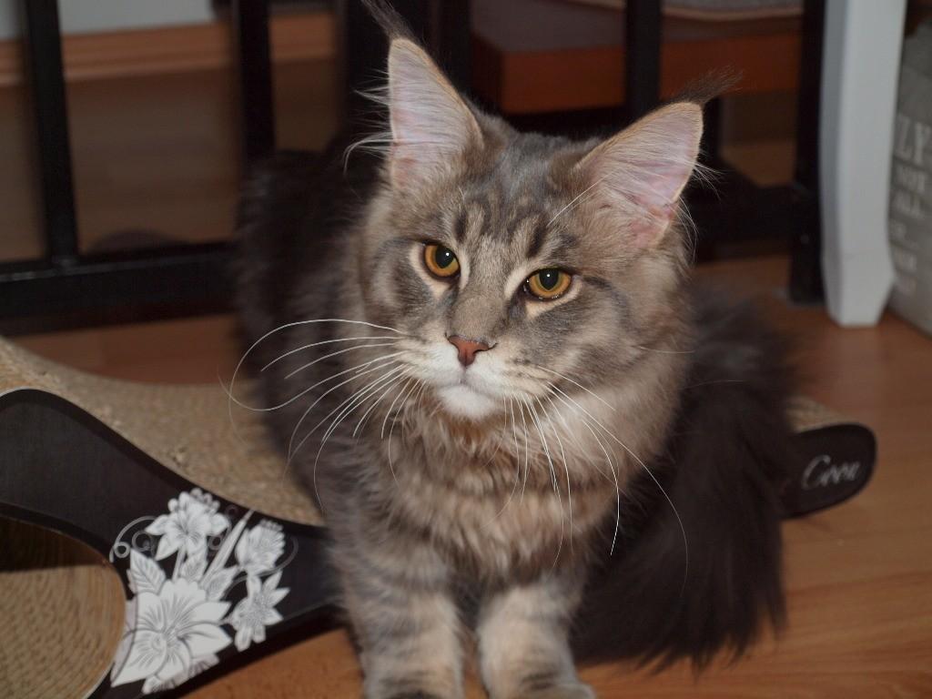 Lou (Cougar) 6,5 Mon.