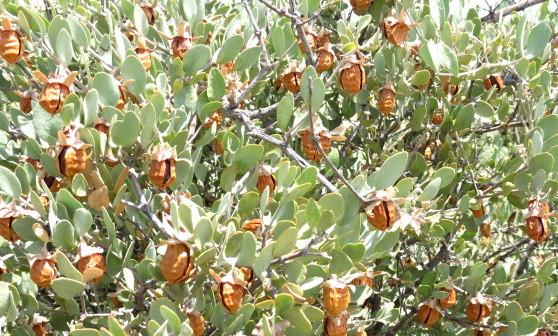 ❦ 完熟原種ホホバ種子(雌)は丁寧に手摘みによって収穫され、殻を除いた種子から高品質な原種のゴールデンホホバオイルを抽出します。