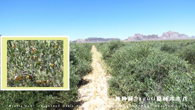 ❦ 連日40度以上の気温の中、イーグルテールマウンテンとタートルバックマウンテン(呼称《鶴亀マウンテン》)の山の麓、砂漠のオアシスで純粋種Sayuri原種ホホバが清々しく育ってます。
