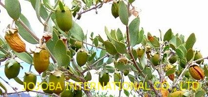 ♔ 【神秘の植物 原種ホホバ種子(純粋種Sayuri原種ホホバ 雌・Queen)6月】 ホホバの表皮が緑からゴールデンカラーに変わりました  (向かって右端)ゴールデンカラーに完熟した原種ホホバ種子
