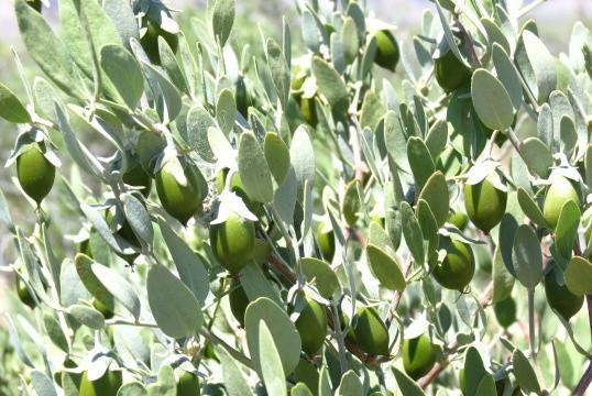 ❦ 原種ホホバ種子(雌・5月)緑色から徐々に熟女に・・・ 葉っぱより大きく実が成っていますね❣
