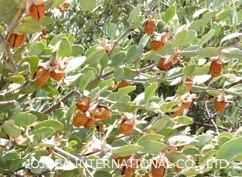 ♔ 神秘の植物 原種ホホバ(純粋種Sayuri原種ホホバ 雌・Queen)7月 愛情一杯に育ちました❣手摘みで収穫し、殻を除いた神秘の植物 原種ホホバ種子を圧搾して高品質のホホバオイルを抽出します。