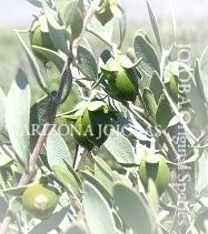❦ アリゾナ州原産原種ホホバ 天然の潤いを。 ホホゴールドの優れた浸透力によってお肌・髪の内側に作用します。ツヤ、ハリのある 素肌 若返り 美しさへー
