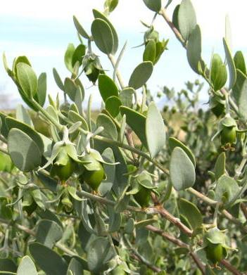 ❦ ホホバ(原種)のお写真 Growing Jojoba♥ 気候やホホバが生えている場所によって種子の生長はまばらですが、花期も過ぎ雌のホホバ種子(原種)はスクスク生長しています。
