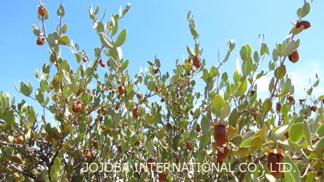 ♔ 神秘の植物 原種ホホバ(純粋種Sayuri原種ホホバ 雌・Queen)7月 皆様の愛情で育ちました原種ホホバ種子です❣手摘みで収穫し、殻を除いた神秘の植物 原種ホホバ種子を圧搾して高品質のホホバオイルを抽出します。