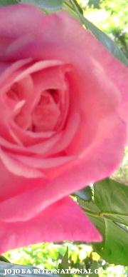 ♔ 《お客様よりお便りです❤有り難うございます》 夏に向かって心強い味方です。よろしくお願いします。篠田様より JOJOBA INTERNATIONAL CO., LTD.