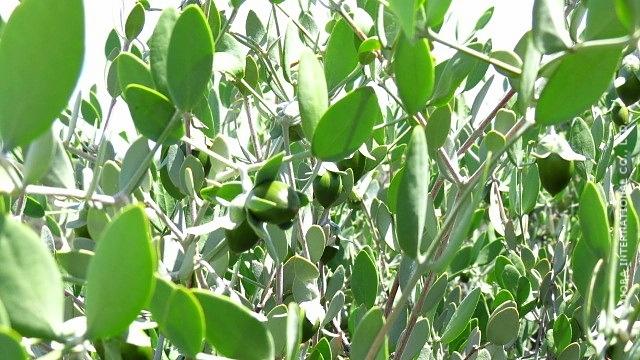 ♔ 【神秘の植物 原種ホホバ種子(純粋種Sayuri原種ホホバ 雌・Queen)4月】