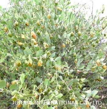 ♔ 【神秘の植物 原種ホホバ種子(純粋種Sayuri原種ホホバ 雌・Queen)6月】 ゴールデンカラーに完熟した原種ホホバ種子は自然に表皮が割れて、中の種子が出てきます。この中の種子を圧搾してホホゴールドが出来上がります。ホホバ種子の中のホホバオイルは41~58%含まれています。