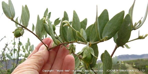 ❦ 北部の雪解けと同時にミツバチが訪れていたホホバの花期も終わり、原種ホホバ種子(純粋種Sayuri原種ホホバ)も大きく生長しています。現地のスタッフに原種ホホバのご報告とお写真を撮影して頂きました。これから、アリゾナ州の現地の日中は30℃以上も上がる真夏日に入ります。正に、原種ホホバは過酷な環境を生き抜く生命力の強い植物です♥