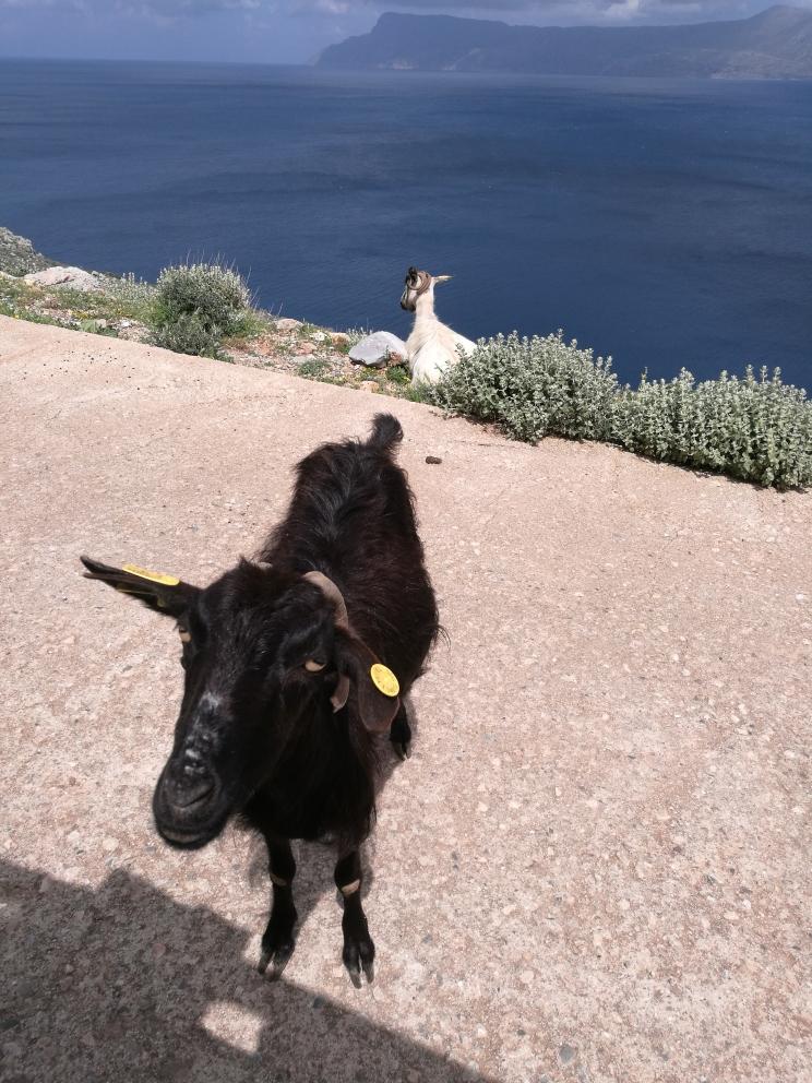 Angehalten, um ein Bild zu machen - und schwupps stand sie da - die süße Ziege! Eine weitere Emma!