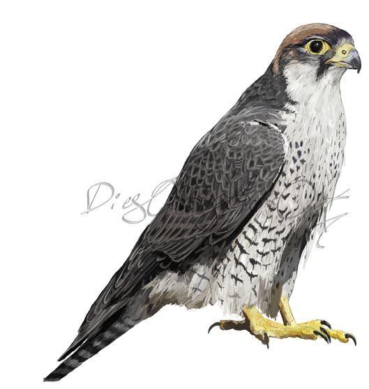 Halcón Borní sub. Feldeggi (falco biarmicus feldeggi)