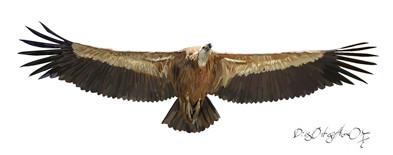 Buitre leonado adulto (vuelo coronado)