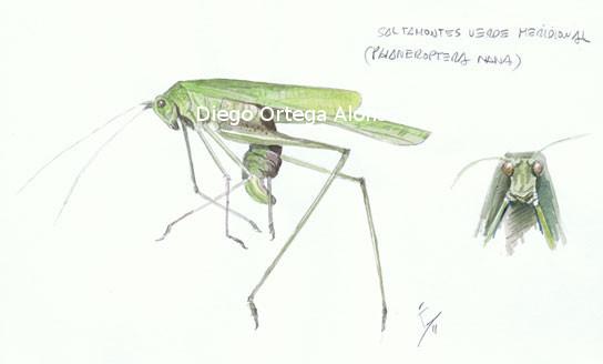 Phaneroptera nana. Acuarela sobre papel. 21X14 cm. 2011