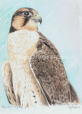 Falco biarmicus feldeggi. Acuarela sobre papel Saunders Waterford. 23X31. 2013
