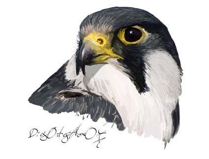 Busto de halcón peregrino subespecie Calidus (falco peregrinus calidus)