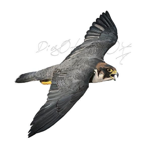 Halcón tagarote vuelo vista superior (falco pelegrinoides)