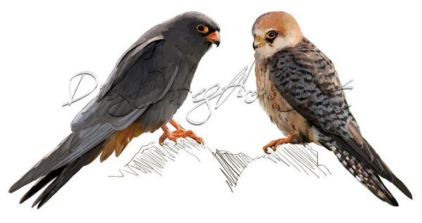 Cernícalos patirrojos, macho y hembra (falco vespertinus)