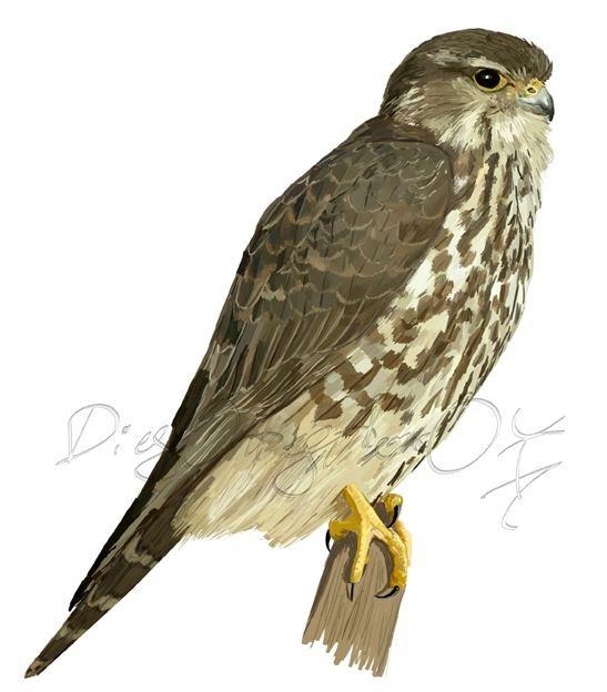 Esmerejón hembra (Falco columbarius)