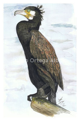 Phalacrocorax carbo. Acuarela sobre papel. 24,8x34,6. 2012