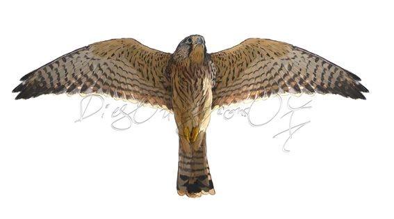Cernícalo vulgar hembra, vuelo inferior (falco tinnunculus)