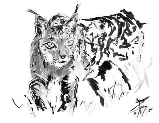 Apunte de lince ibérico. Tinta china sobre papel. 29,7 x21cm. 2015