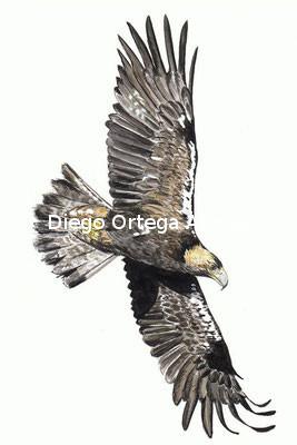 Volando voy (Aquila adalberti). Acuarela sobre papel Fabriano. 18X25. 2013