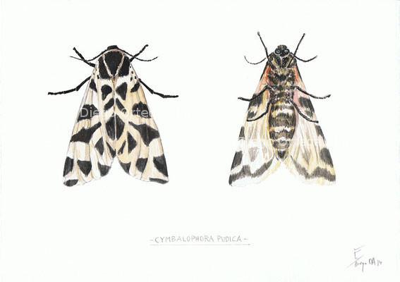 Cymbalophora pudica. Acuarela sobre papel. 25X18. 2014