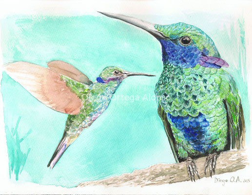 Colibri coruscans. Acuarela sobre papel Saunders Waterford. 31X23. 2015