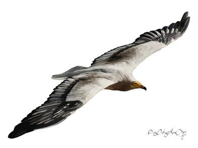 Alimoche adulto (vuelo, vista superior)