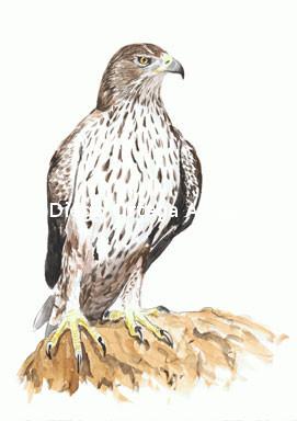 Aquila fasciata. Acuarela sobre papel Fabriano. 18X25. 2013