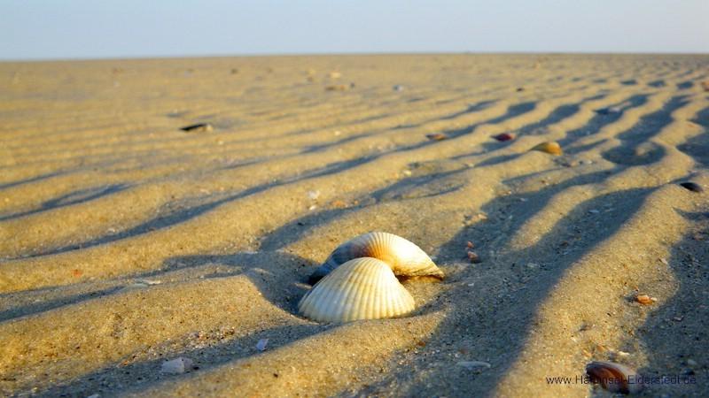 Herzmuschel auf der Sandbank