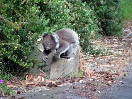 Der erste freilebende Koala