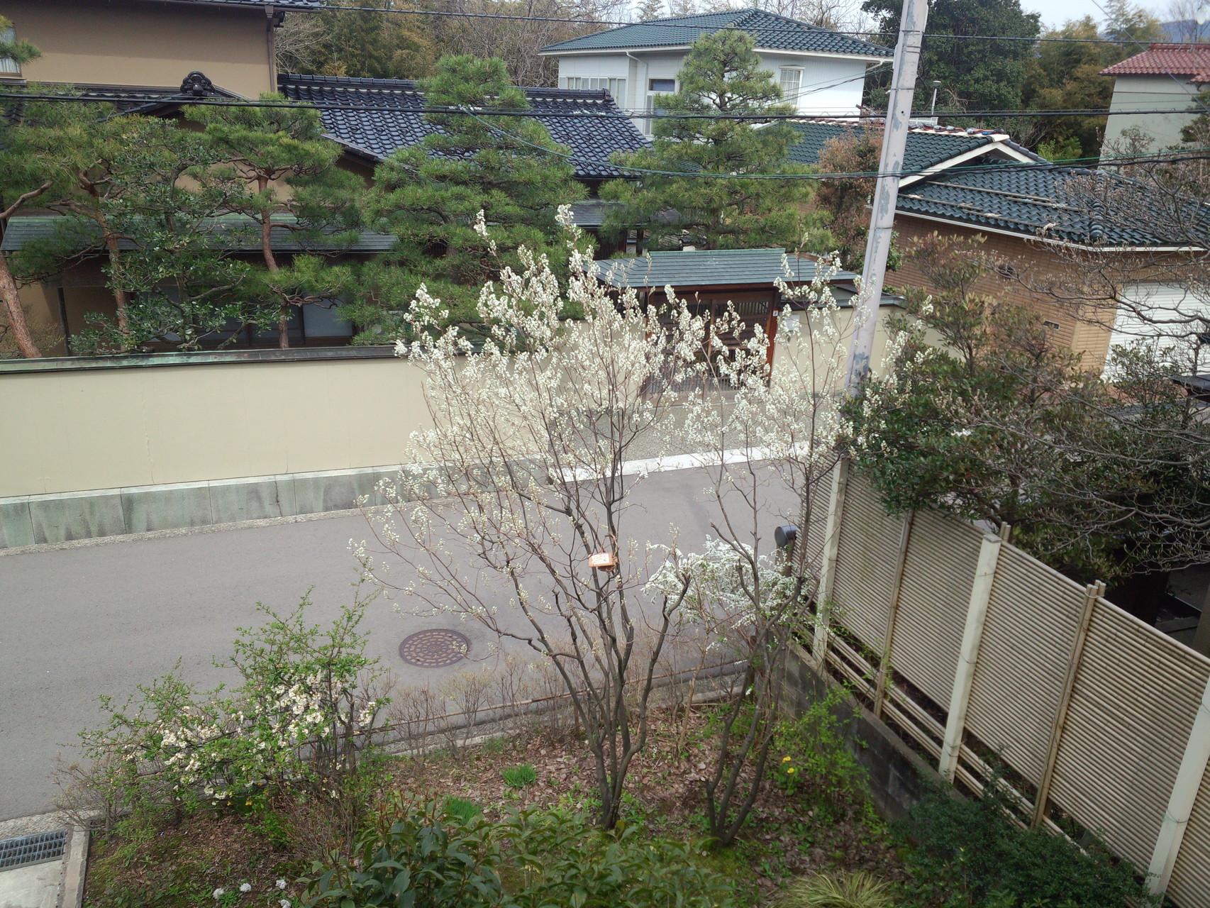 ジューンベリー開花
