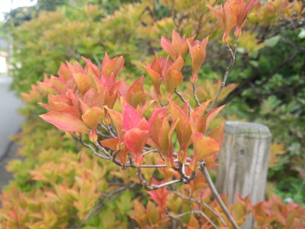 9月17日。生垣のドウダンツツジが色付き始めました。