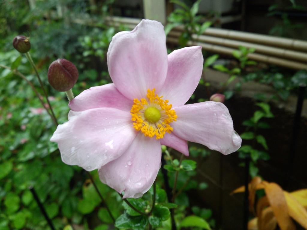 そしてこれは秋明菊(シュウメイギク)。名前に秋がついている花、わが家の庭にも咲いています。