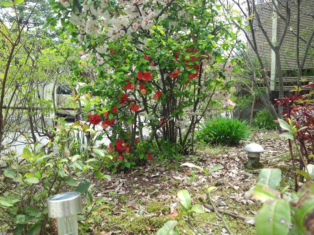 木瓜の木。木の下の方にも花がつく。