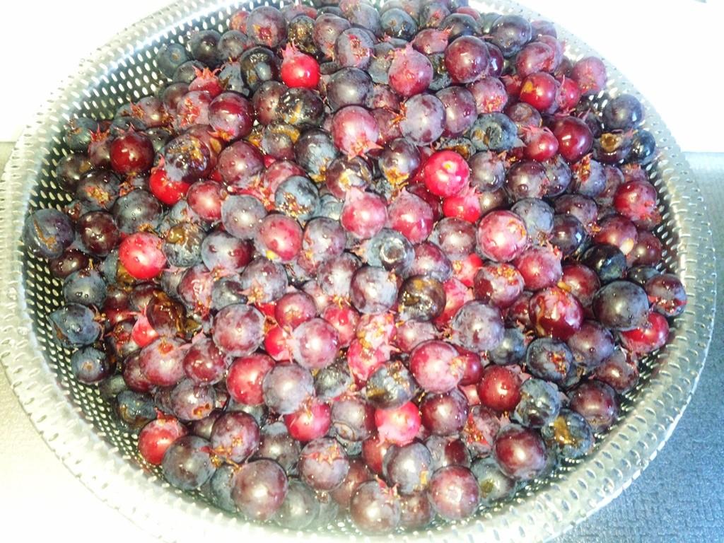 ジュンベリーの実を摘みました。約1キロの収穫。