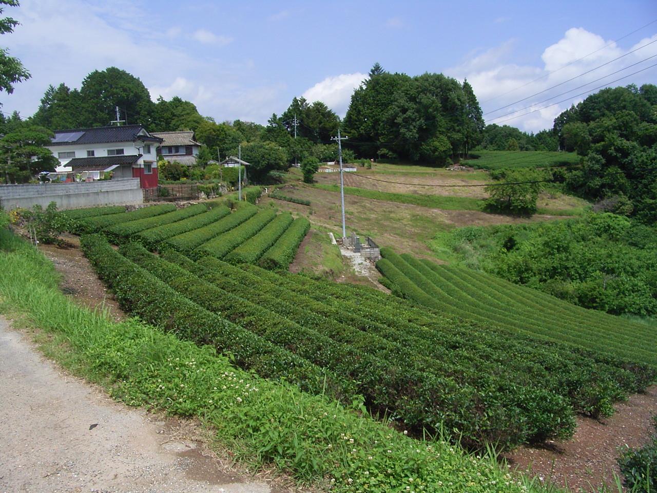 高梁市松原地区の茶園